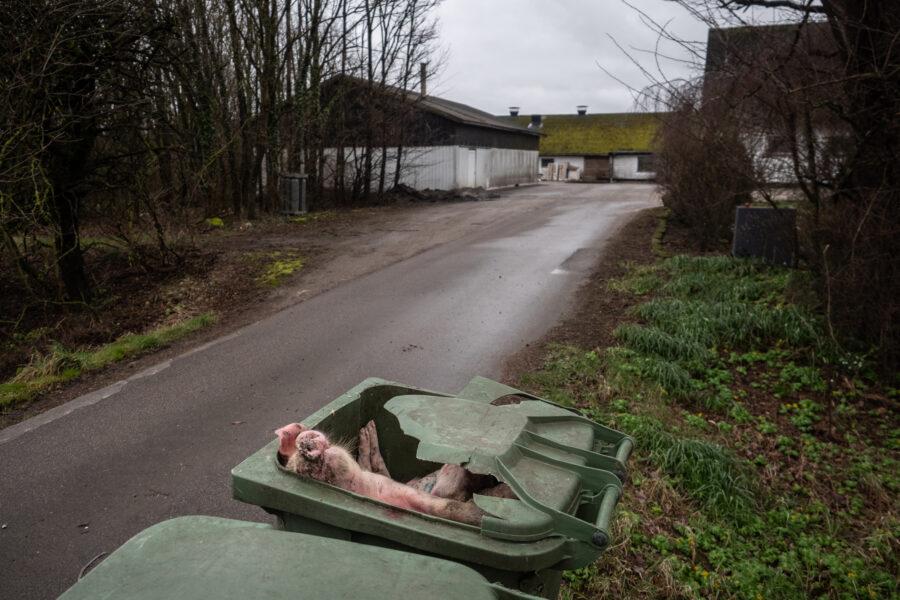 Dead Piglets Dumped In Trash Bins