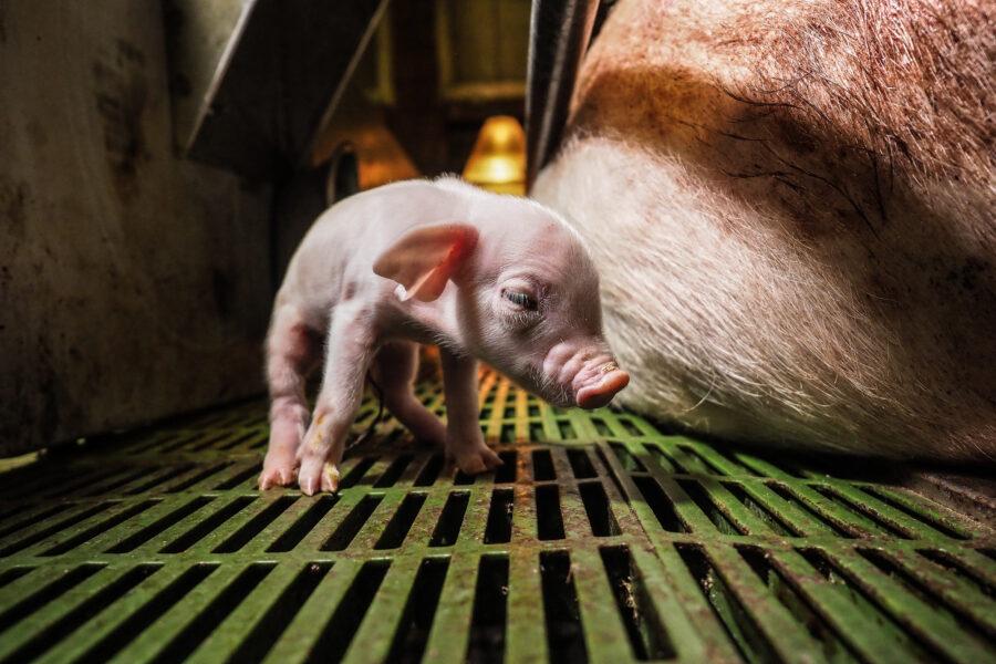 08 Factory Farming Animals Agriculture Pig Selene Magnolia.jpeg