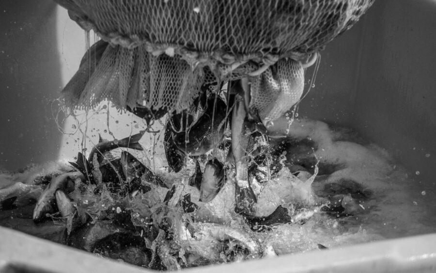 22 Aquaculture Fish Industry Intensive Farm Fishing Sea Aquatic Selene Magnolia P5291140 2lowres Scaled