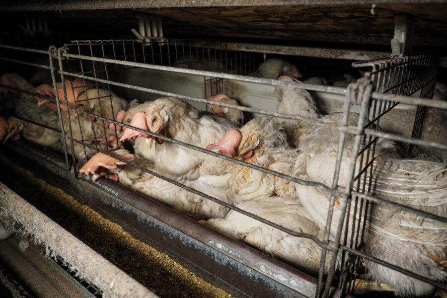 22 Factory Farming Animals Agriculture Chickens Selene Magnolia.jpeg