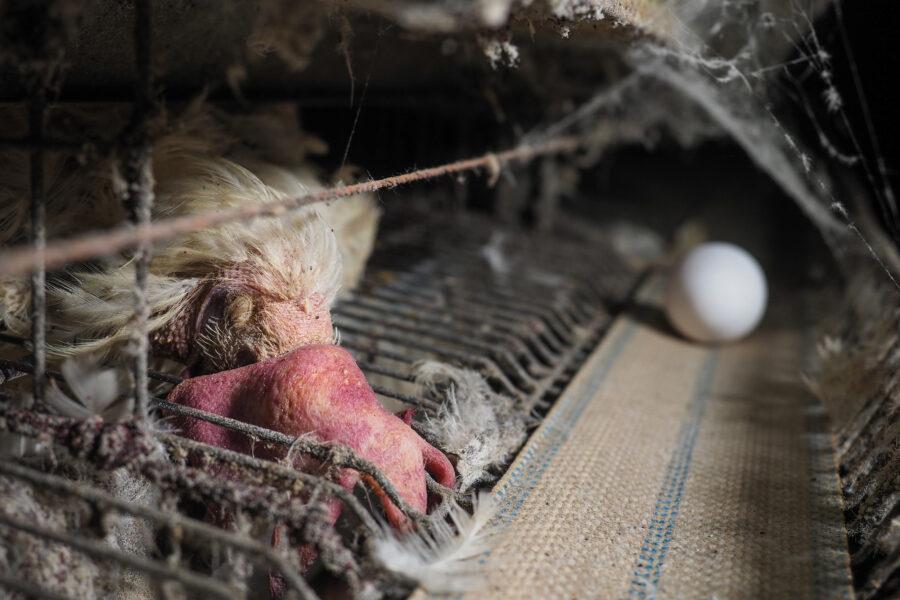 23 Factory Farming Animals Agriculture Chickens Eggs Selene Magnolia.jpeg
