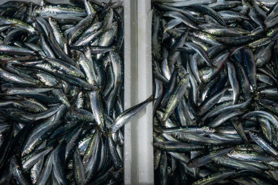 27 Aquaculture Fish Industry Intensive Farm Fishing Sea Aquatic Selene Magnolia A300683 2