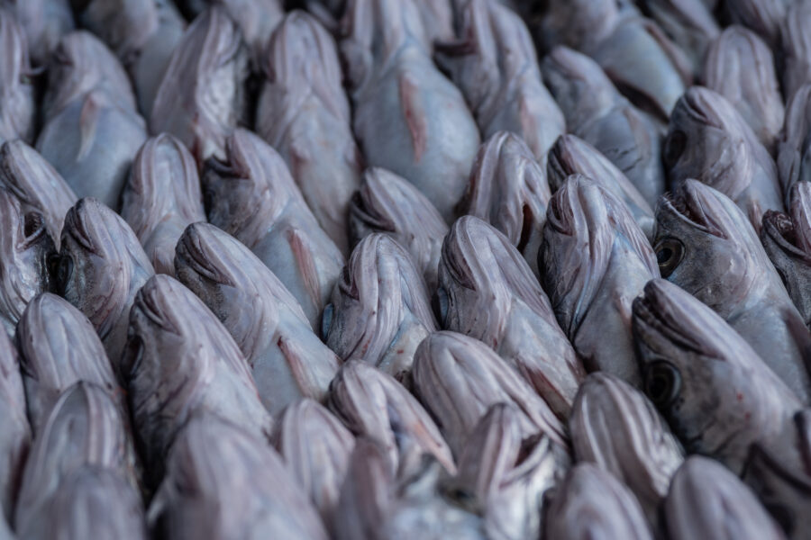 Pireus, Greece, November 2020. Detail Of Packed Fish Ready For Sale Onboard The Trawler Fishing Boat Fasilis. The Typically Main Targeted Species Of Fish Are: Cod, Red Mullet, Shrimp, Manta, Monkfish, Mackerel, School Sharks, Saint Peter Fish But By Catch