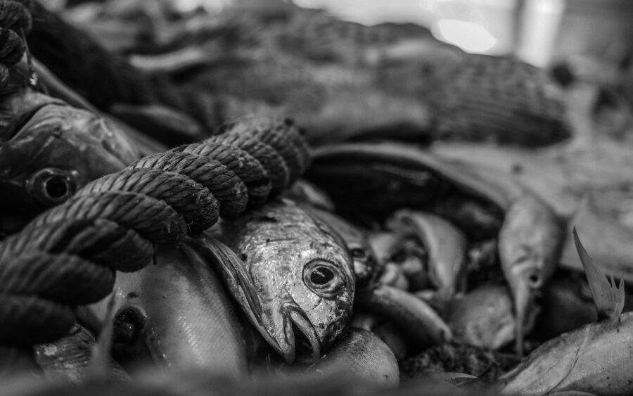 49 Aquaculture Fish Industry Intensive Farm Fishing Sea Aquatic Selene Magnolia P6013434lowres Scaled
